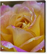 There's Nothing Like The Beauty Of A Rose  Acrylic Print