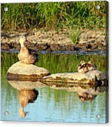 These Ducks Rock Acrylic Print
