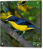 Thick-billed Euphonia Acrylic Print