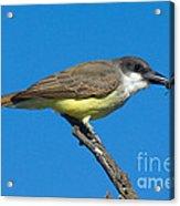 Thick-billed Kingbird Tyrannus Acrylic Print