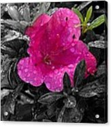 Thinking In Pink Acrylic Print