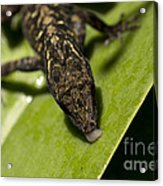 Thirsty Brown Anole Acrylic Print