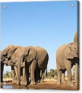 Thirsty Elephant Herd Acrylic Print
