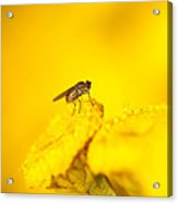 Thirsty Fly Acrylic Print by Sarah Crites