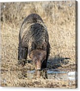 Thirsty Grizzly Acrylic Print