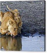 Thirsty Lions Acrylic Print