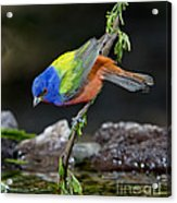 Thirsty Painted Bunting Acrylic Print