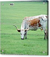 This Cow Is No Bull Acrylic Print