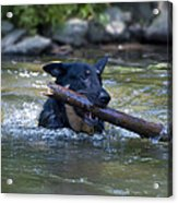 This Dog Loves To Play Fetch Acrylic Print