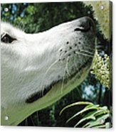 This Flower Smell Good Acrylic Print