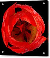 This Red Tulip Acrylic Print