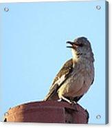 This Spring's Mockingbird Acrylic Print