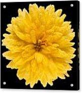 This Yellow Chrysanthemum Acrylic Print