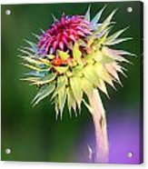 Thistle And Company Acrylic Print