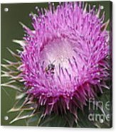 Thistle And The Bee Acrylic Print