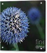 Thistle Bloom 2 Acrylic Print