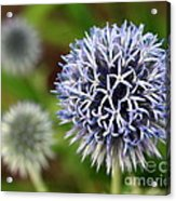 Thistle Bloom Acrylic Print