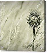 Thistle - Dreamers Garden Series Acrylic Print