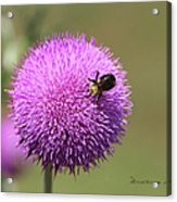 Thistle And A Bee Acrylic Print