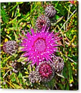Thistle In Saint Mary's Ecological Reserve-newfoundland Acrylic Print