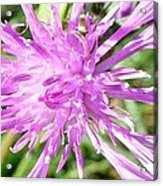Thistle In Umbria Acrylic Print