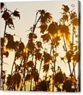 Thistles In The Sunset Acrylic Print