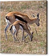 Thompson Gazelles Acrylic Print