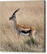 Thompson's Gazelle Acrylic Print