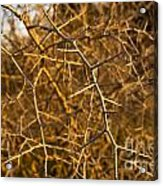 Thorn Bush Acrylic Print