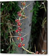 Thorns And Blooms Acrylic Print