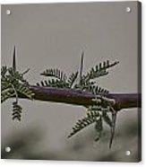 Thorns Of The Acacia Tree Acrylic Print