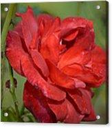 Thorny Red Rose Acrylic Print