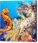Thorny Seahorse Acrylic Print