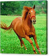 Thoroughbred Filly Acrylic Print
