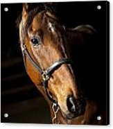 Thoroughbred Race Horse Acrylic Print
