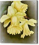 Those Blooming Daffadils Acrylic Print