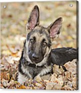 Those Ears Acrylic Print