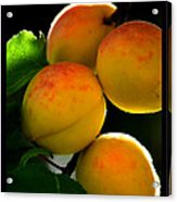 Those Glowing Golden Apricots Acrylic Print by Susanne Still