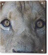 Those Lion Eyes Acrylic Print