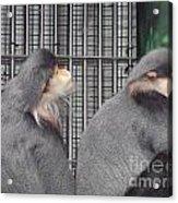 Thoughtful Monkeys Acrylic Print