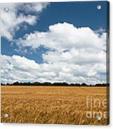 Thoughts Of A Wheatfield Acrylic Print