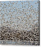 Thousands Of Snow Geese Acrylic Print
