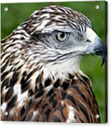 The Threat Of A Predator Hawk Acrylic Print