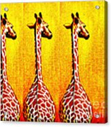 Three Amigos Giraffes Looking Back Acrylic Print