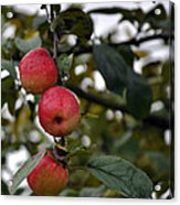 Three Apples Acrylic Print