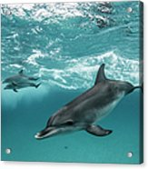 Three Atlantic Spotted Dolphins Acrylic Print