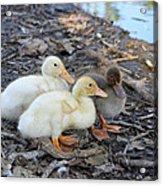 Three Baby Ducks Acrylic Print