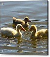 Three Baby Ducks Swimming Acrylic Print