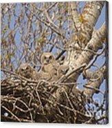 Three Baby Owls  Acrylic Print