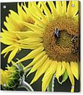 Three Bees On A Sunflower Acrylic Print
